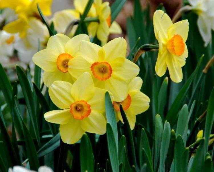 Plant Easy Care Daffodils Now for Added Spring Beauty