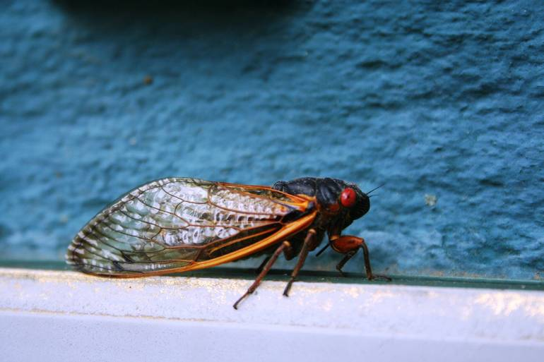 Six Things To Know About 17-Year Cicadas in Springfield