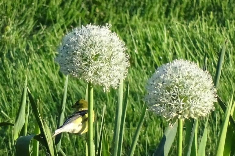 White Allium
