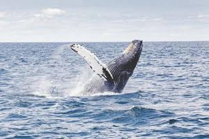 Carousel image 4167110079996b6a007a ea8cb80689d94497ec37 whale breaching