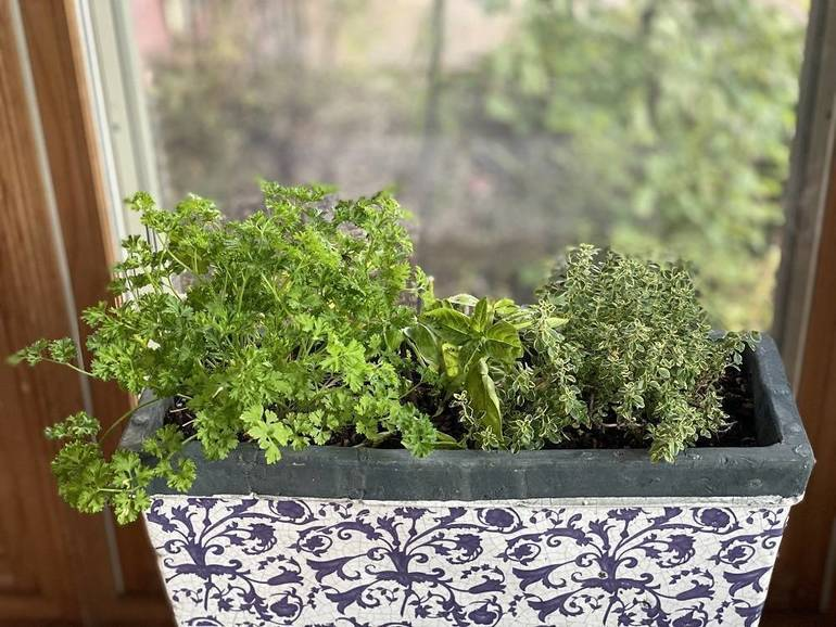 Windowsill herb garden with parsley basil and lemon thyme