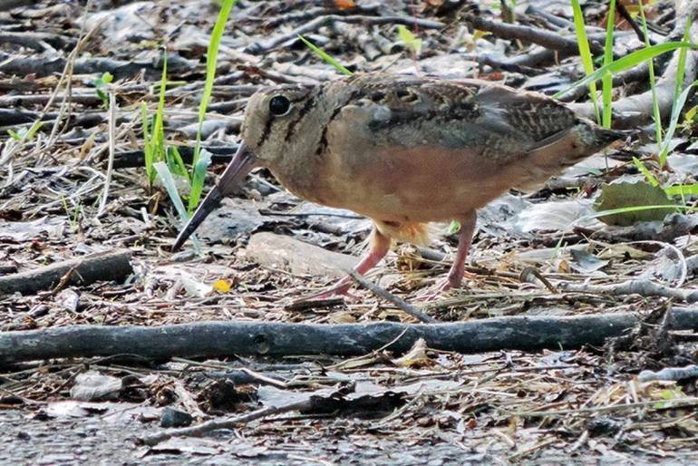 woodcock (credit Rutgers University).jpg