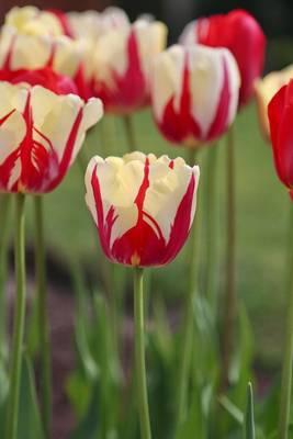 Carousel image b2e55292d66a4de2a2b4 ca256c35315e64c15faa e1e816c84e5f92b9384b world expression tulip photo credit longfield gardens